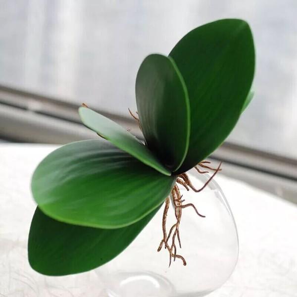 Листья орхидеи с корнями (в наличии 35 шт)  Цена =20 руб/шт